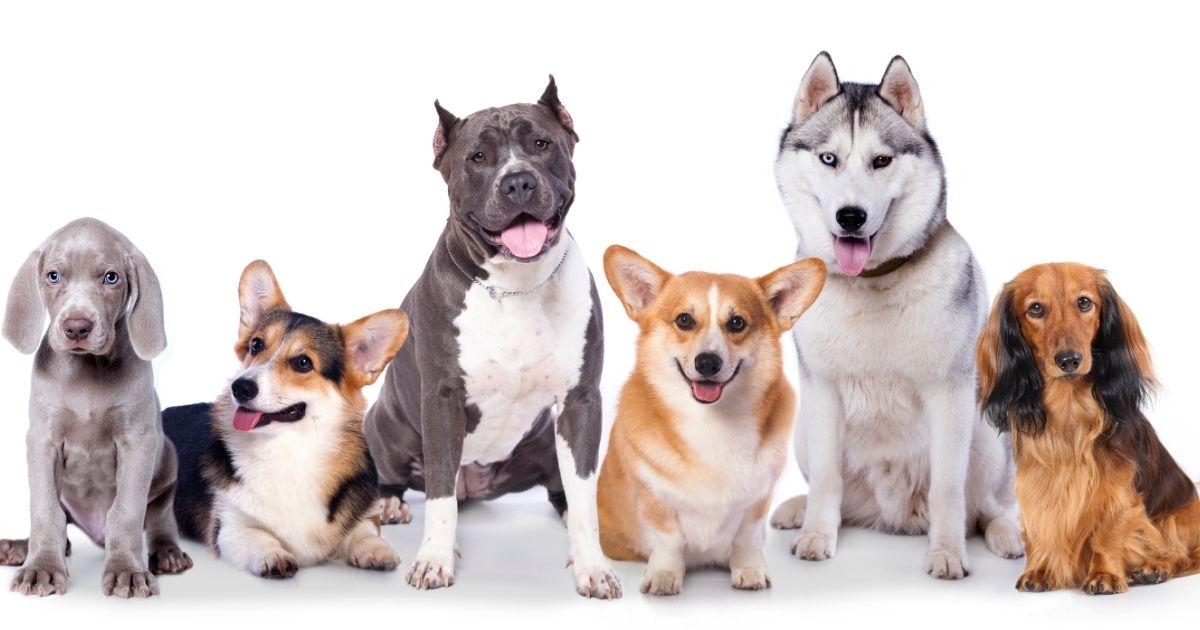 Cani e classificazione per dimensioni: taglia piccola, media e grande